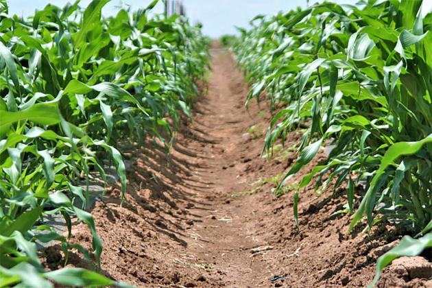 High Plains crop budgets, profitability tools released. (Texas A&M AgriLife photo)